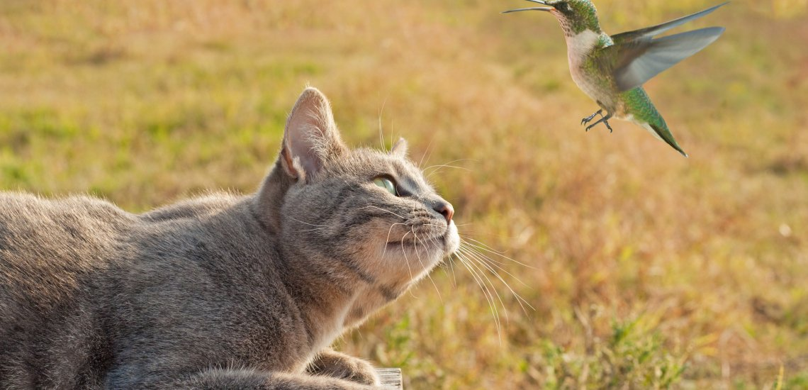 Do you ever wonder what your cat is up to when it disappears? Does your cat  return home with a dead bird in its mouth? Cats are born predators so it's  up ... - Keep Backyard Birds Safe From Cats