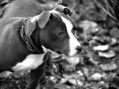 Most abused dog breeds