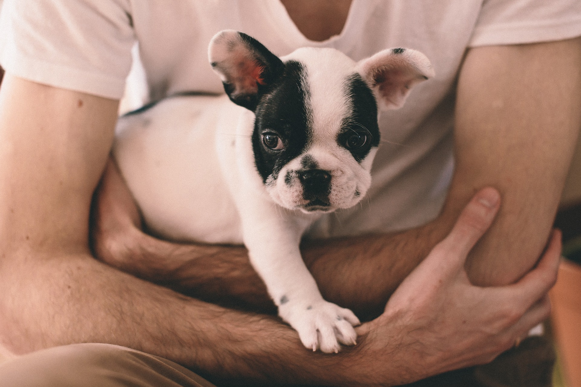 Cute French Bull Dog