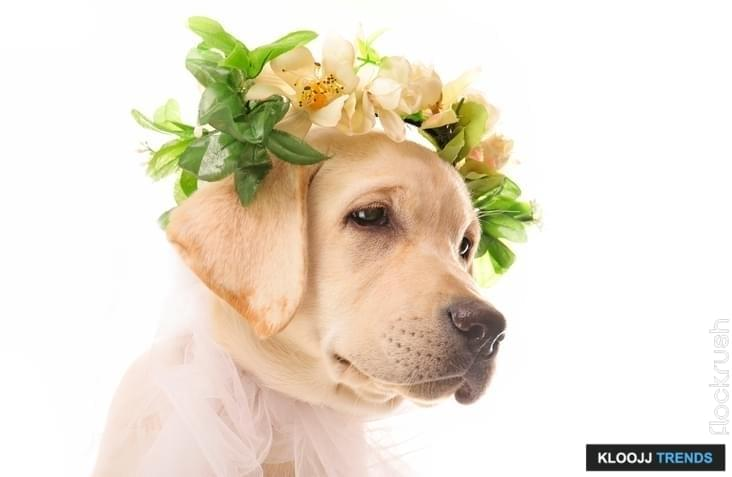 dog in wedding dress