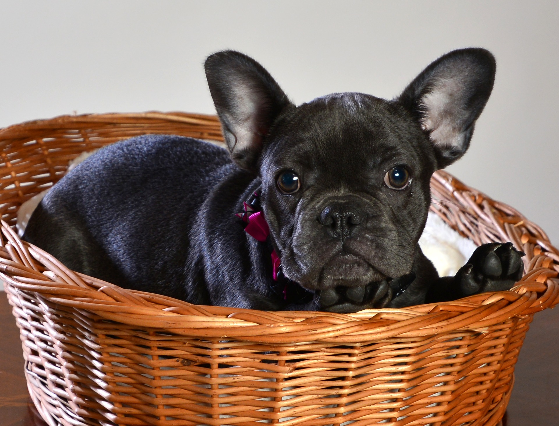 cute frenchie