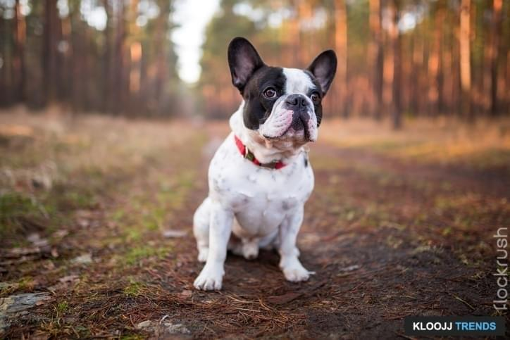 mini french bulldog adult