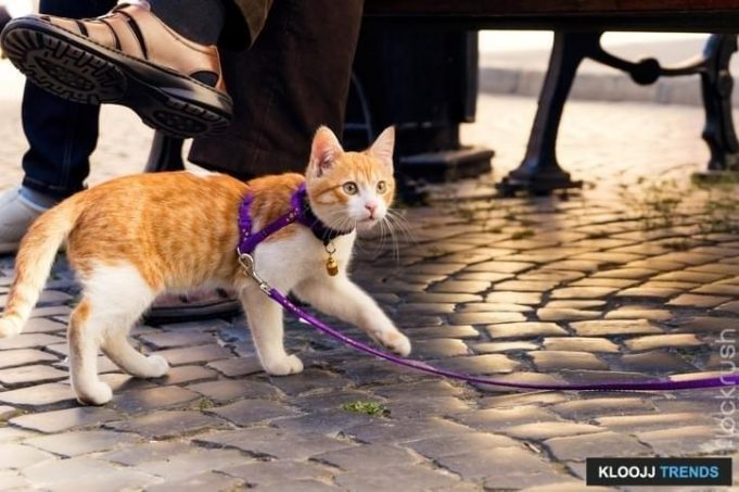 how to harness train a cat