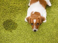 carpet cleaning animal urine