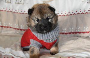 dog dress shirt