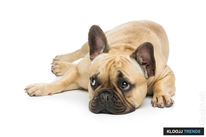 pied french bulldog